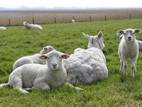 Csökkenő kínálat, emelkedő bárányárak