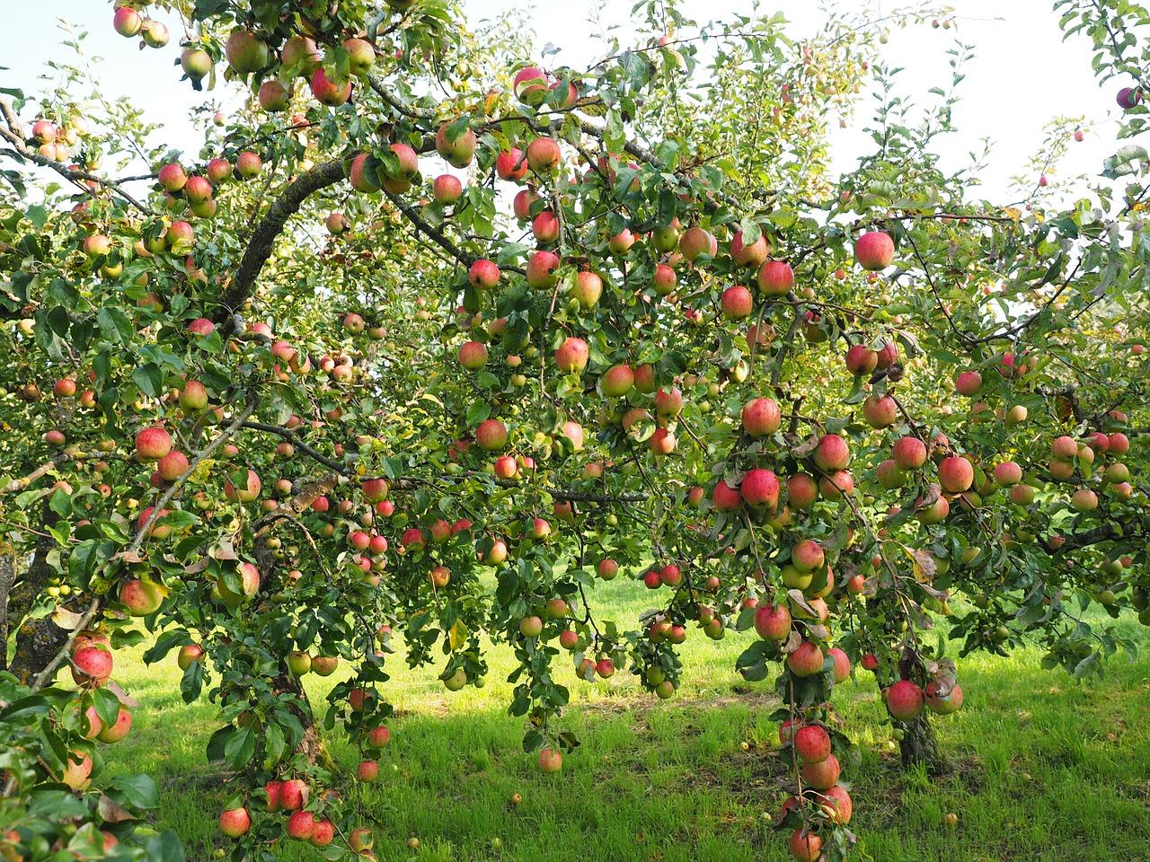 gyümölcstermés alma