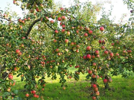 Soha nem látott kár a gyümölcsösökben – meddig szaladhatnak fel az árak?
