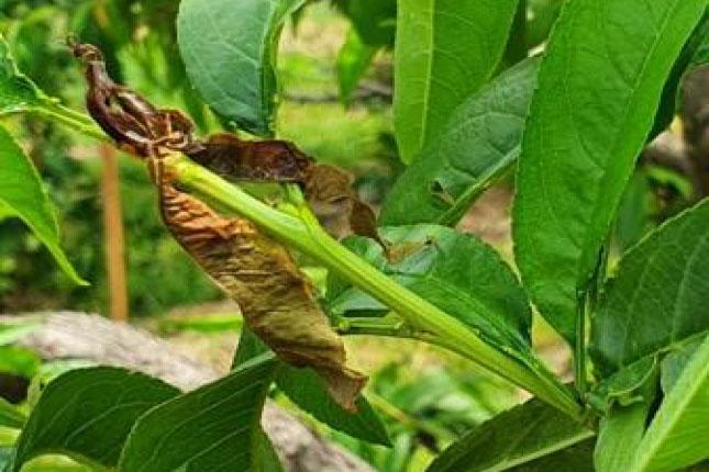 Gyümölcsmoly kár őszibarackon