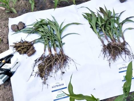 Ha az ötéves csutka kifordul a földből, ott baj van a talajjal – VIDEÓ