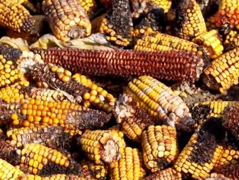 Mit kockáztat a gazdálkodó, ha mikotoxinnal szennyezett kukoricát ad át?