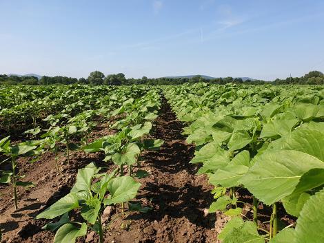 Közel egy tonnás terméstöbblet kukoricában – Stresszoldás a növényeknek, és Önnek is!