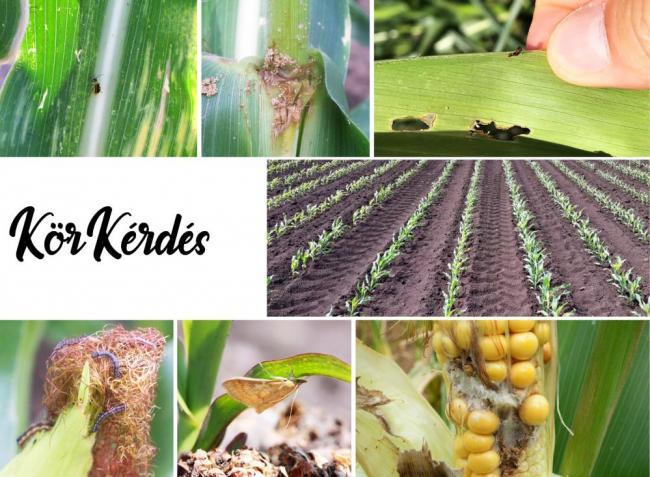 Kukoricatermesztők! Milyen kártételre kell felkészülnünk?