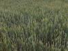 Terjedő növénybetegségek és aszály sújtotta állományok