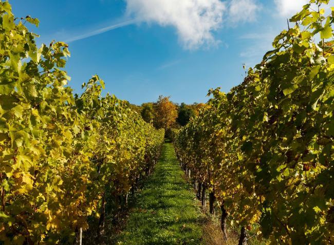 Megnyílnak a szőlőtermesztők és borászatok számára a koronavírus okozta gazdasági károk enyhítésére szolgáló pályázatok