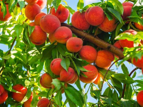 A gyümölcstermesztés aktuális helyzete