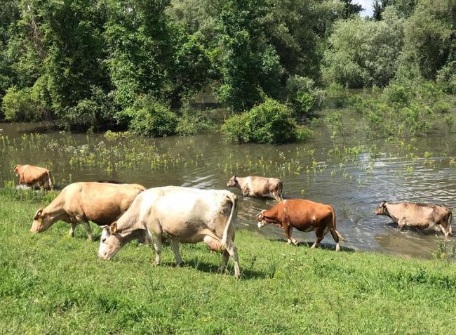 Öcsödi gát boldog tehenei – és az ártéri legelők hasznosítása – VIDEÓ