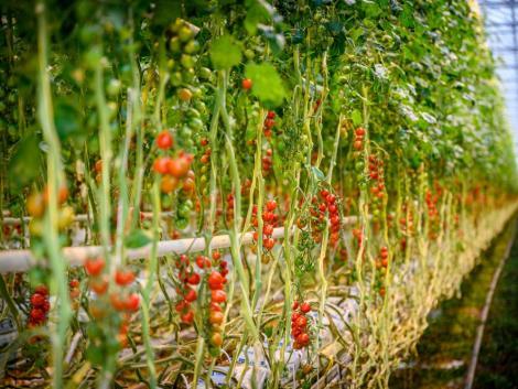 Idén a Veresi Paradicsom Kft. kapta az Agrár Innovációs Díjat