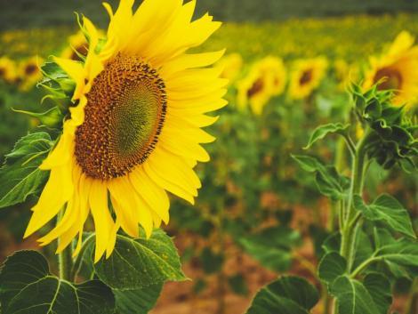 Napraforgó-védelem – még van feladat!