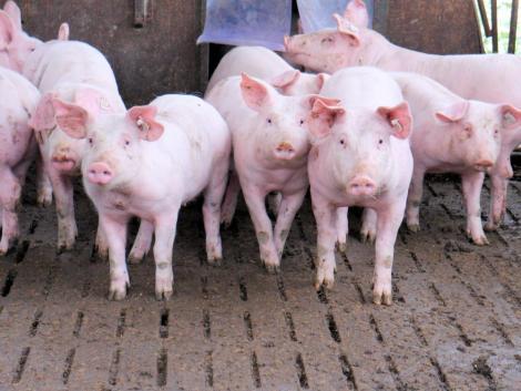 Figyelmeztet a hatóság: a nyári aratás időszakában kiemelten fontos az ASP elleni védekezés