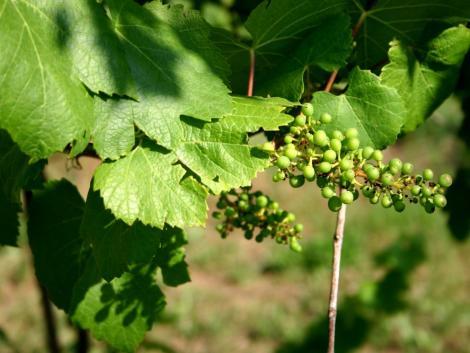 A tokaji szőlőtermelők között a legnépszerűbb a zöldszüret idén