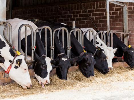 Dráma a növendékmarhák piacán –  mélyponton az árak