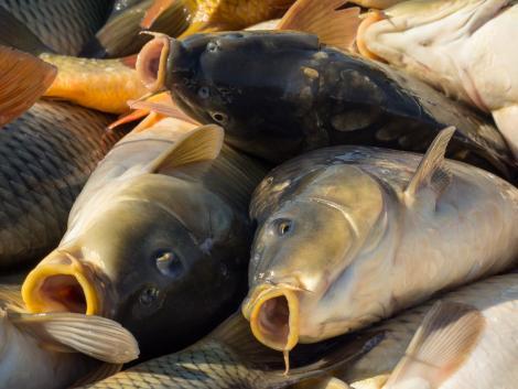 Mostantól elektronikusan is beadhatók a halgazdálkodási szakterület kérelmei, bejelentései