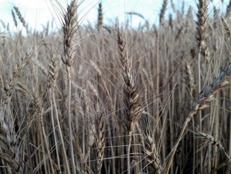 Csapadékmentes időben haladhat az aratás