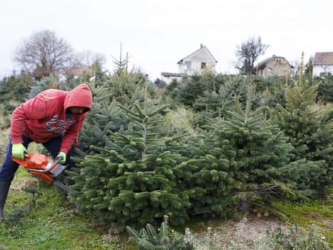 Kiderült mennyivel kapnak kevesebbet a karácsonyfa-ültetvények után a termelők
