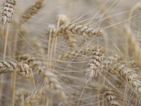A szélsőséges időjárás ellenére közepes gabonatermés várható a Jászságban
