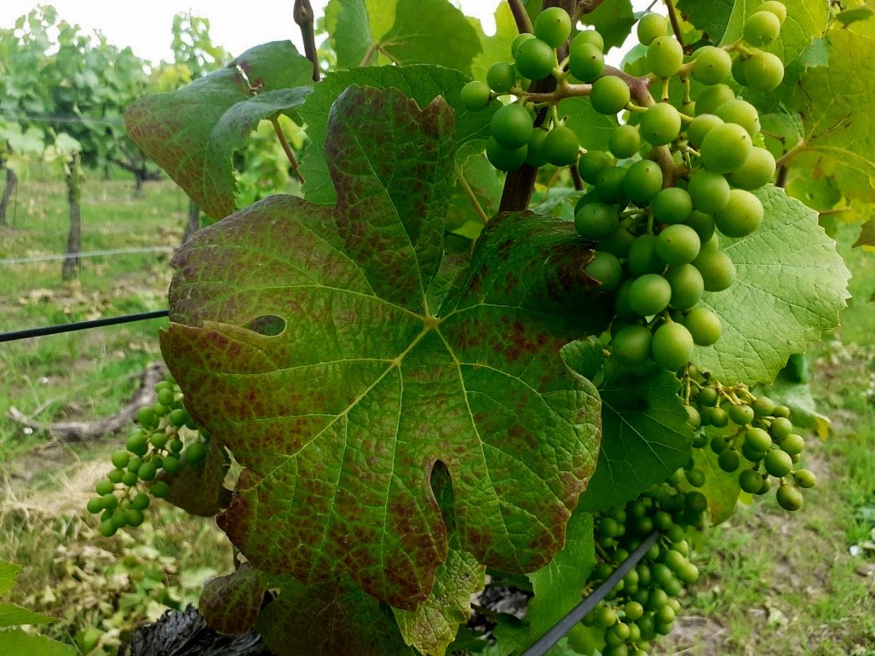 káliumhiány tünete szőlőn