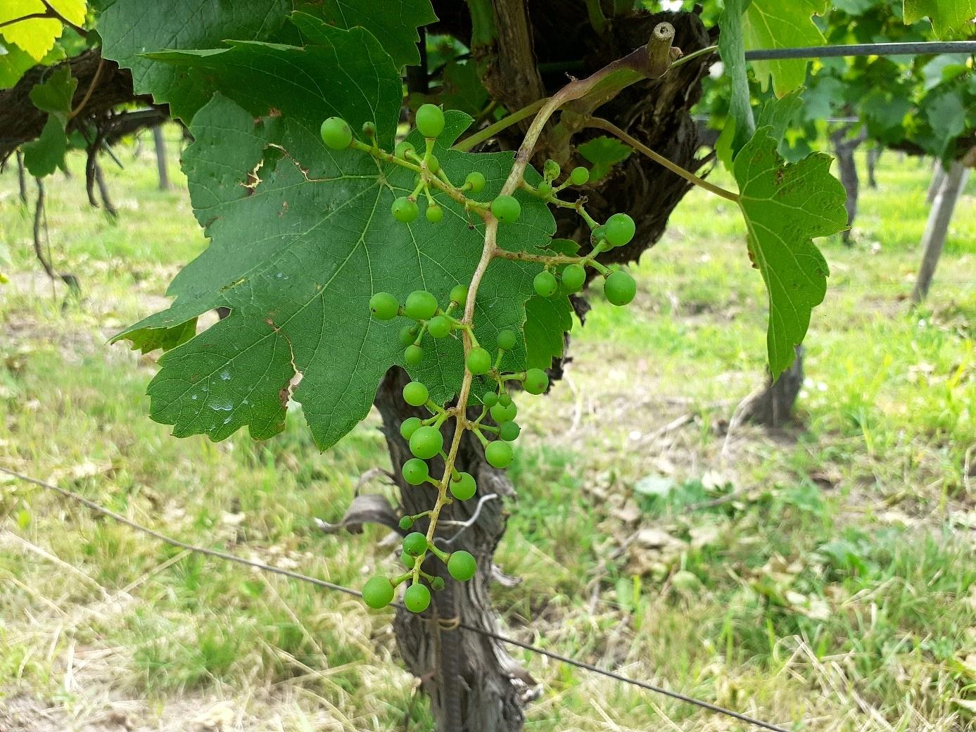 szőlő hiányos terméskötődése