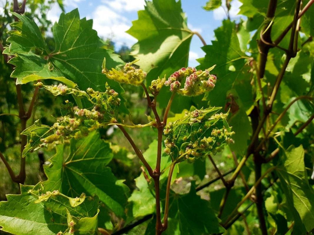 filoxéra szőlőn
