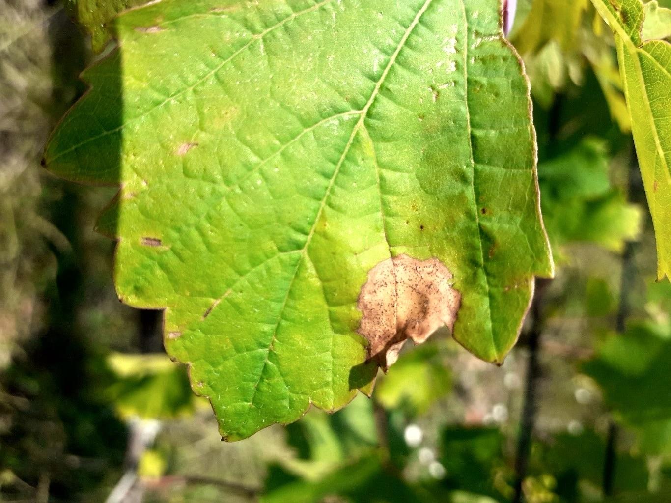 feketerothadás szőlőn