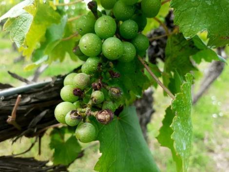 2020 vajon a szőlő éve lesz? – Helyzetjelentés a szőlészetből