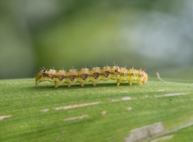 Növényvédelmi előrejelzés: Oda kell figyelni a gyapottok-bagolylepkére és a kukoricamolyra!