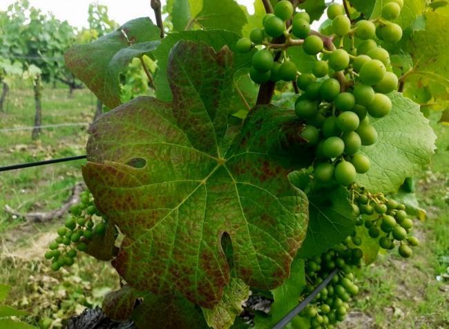 Poloskainvázió, a mezei hörcsög titkai és a szőlő védelme