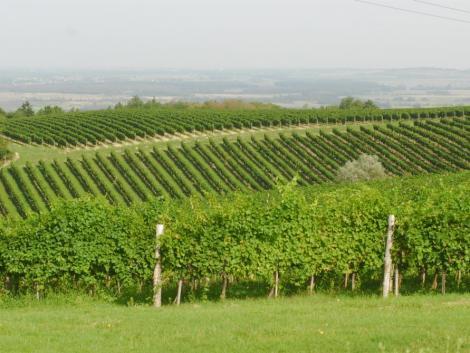 Uniós oltalom alá került a csopaki bor