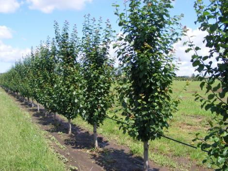 A gyümölcs törzsültetvényeket szemlézte a Nébih