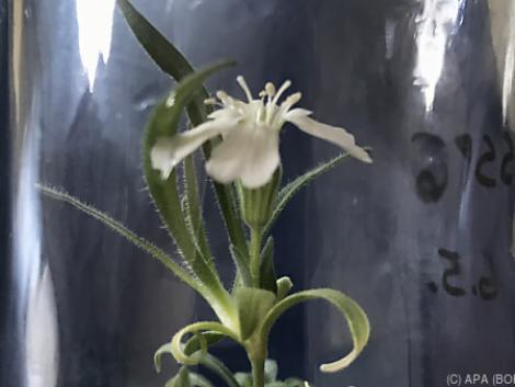 Bécsi kutatók 32 ezer év után keltettek életre egy virágot