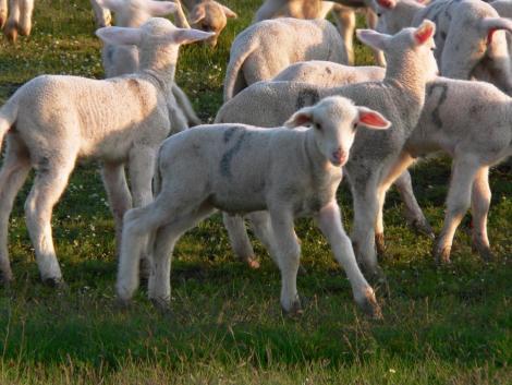 2020-as csúcson az európai bárányárak