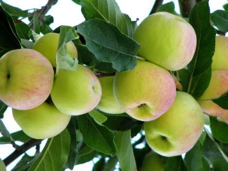 Feleannyi alma terem mint tavaly, de a körténél még rosszabb a helyzet