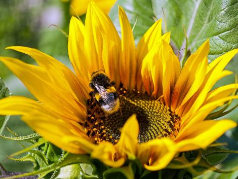 A vadon élő méhek eltűnése jelentené az egészséges élelmiszer-előállítás végét