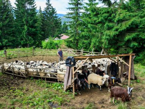 Támogatásokkal növelnék a juh- és kecsketartási kedvet
