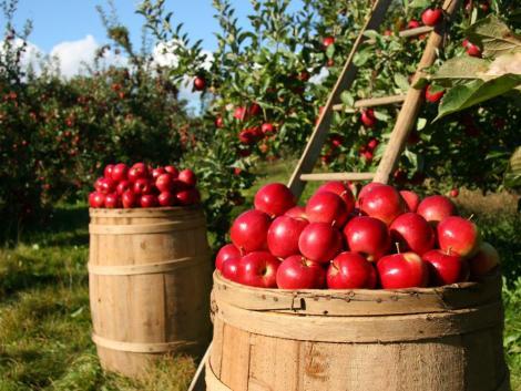 Új rothadást okozó kórokozó pusztít az Egyesült Államok almaültetvényeiben