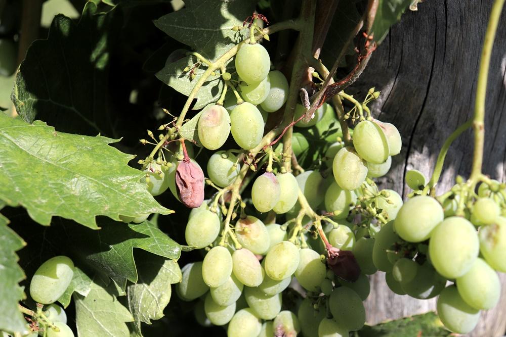 szőlő feketerothadás