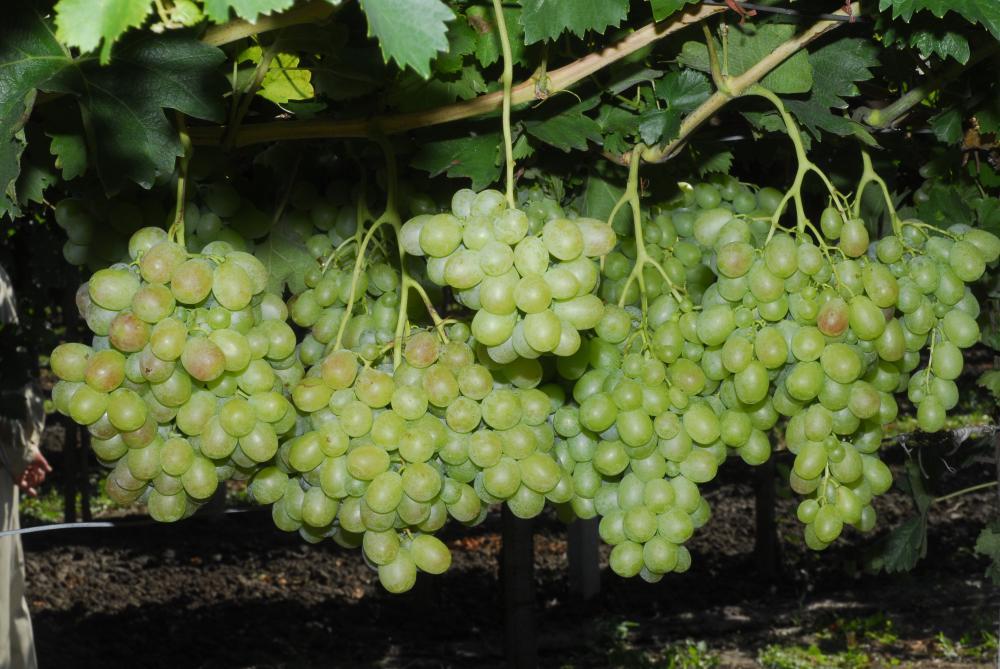 szőlő termés