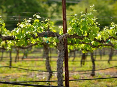 Elegük lett a mátrai szőlőtermelőknek – rögzített minimálárat szeretnének