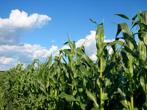 Az eső utáni meleg idő kedvez a kukorica fejlődésének