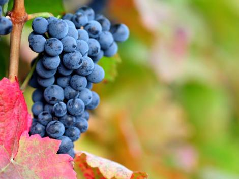 Hogyan védekeznek a szőlő gombabetegségei ellen a magyar gazdák?