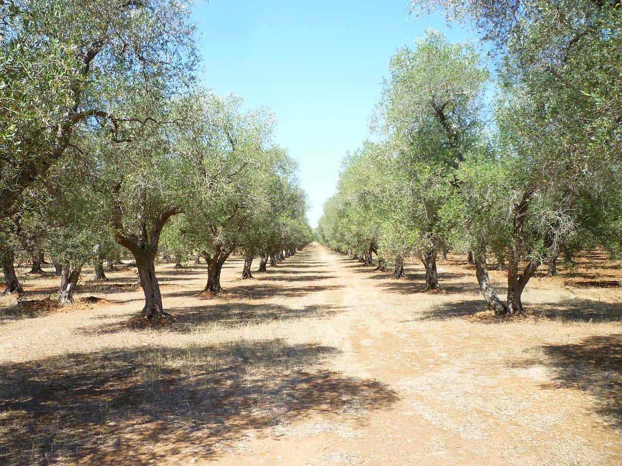 olívaültetvény
