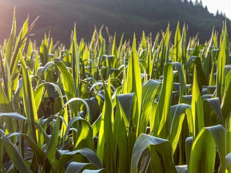 Mi a különbség az európai és az amerikai kukorica között?