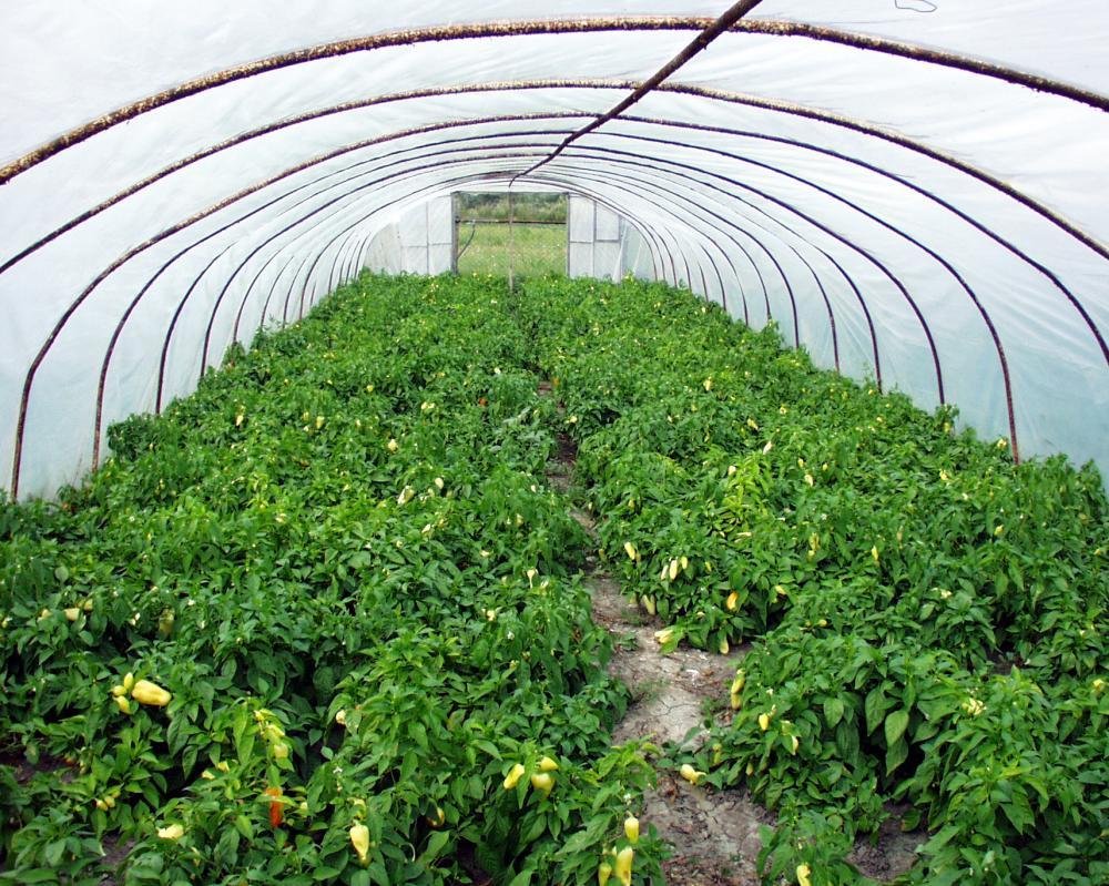 paprika ültetvény
