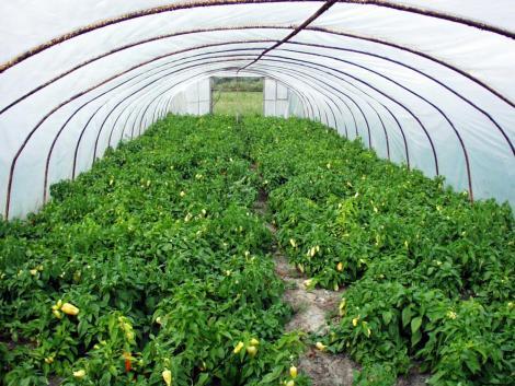 A termelők tehetetlenek: letarolják a hazai paprikaültetvényeket a poloskák