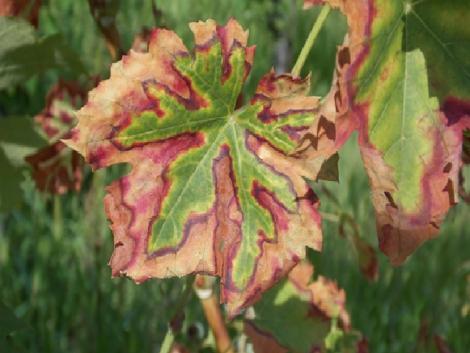 Növényvédelmi előrejelzés: A szőlő most sok figyelmet, ápolást, védelmet kíván