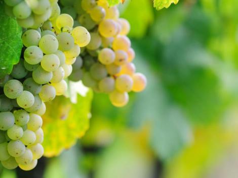 A korai szőlőfajtákat már szüretelik, a későn érőket még permetezni kell
