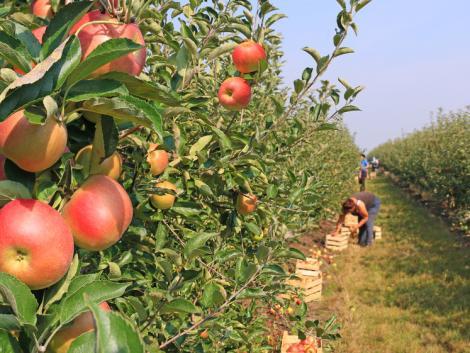 Elégedetlenek az idei almaterméssel a lengyel termelők