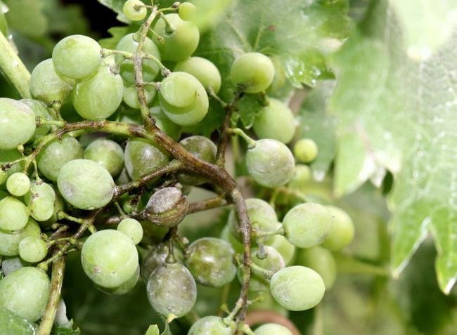 Növényvédelmi előrejelzés: Az ismétlődő esős ciklusok újabb fertőzési hullámokat indítanak el a szőlőben