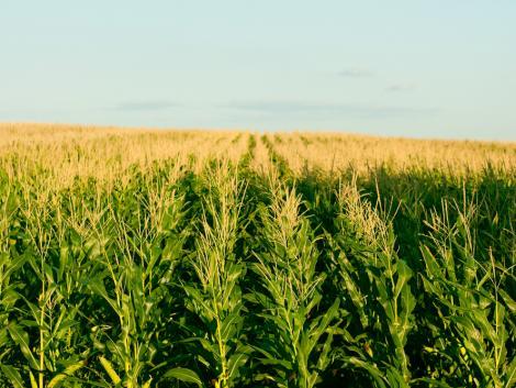Extrém szárazság sújtja az USA legnagyobb kukoricatermesztő államait